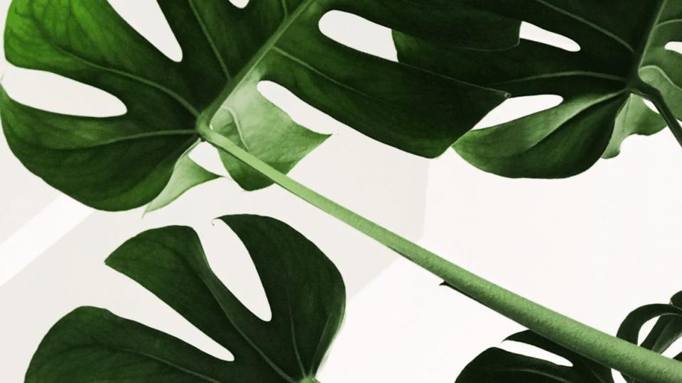 nenarocna izbova rastlina monstera